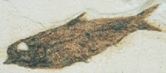 Photograph of fossil fish from the Eocene period. The vertebral column is clearly visible